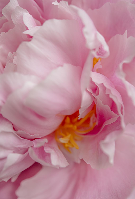 peony flower bloom, naturlal photography by Agi Lebiedz